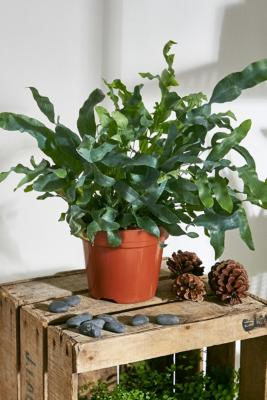 Blue Fern Live Plant - Assorted ALL at Urban Outfitters